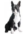 Beeld grijze boston terrier 41 cm