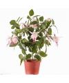 Fuchsia plant roze in pot 30 cm