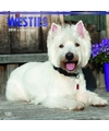 Honden kalender 2018 west highland white terrier