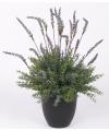 Lavendel plant in pot 30 cm