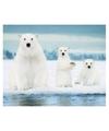 Poster ijsberen 40 x 50 cm