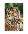 Poster tijgers 61 x 91 cm