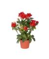 Rode rozen in pot 20 cm