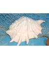 Witte decoratie schelp 20 cm
