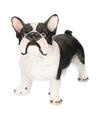 Dierenbeeld franse bulldog staand 38 cm