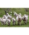 Placemat schapen en lammetjes 3d 30 x 40 cm